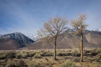 Trees and Eastern Sierra Nevadas