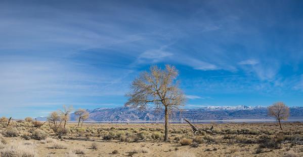 Panorama of Desert Tree