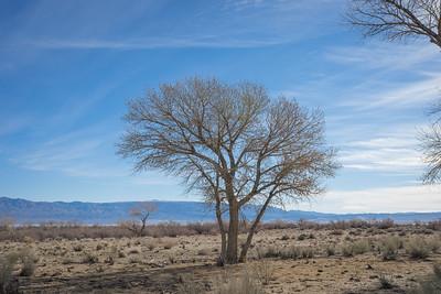 California Mojave Desert Tree