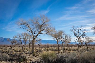 Cluster of Desert Trees