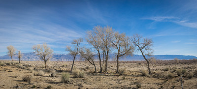Desert Tree Panorama