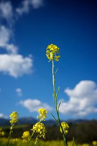 Mustard profiled against the California sky.