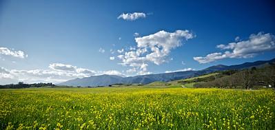 Beautiful yellow mustard flowers in a gorgeous field near Ojai, California.