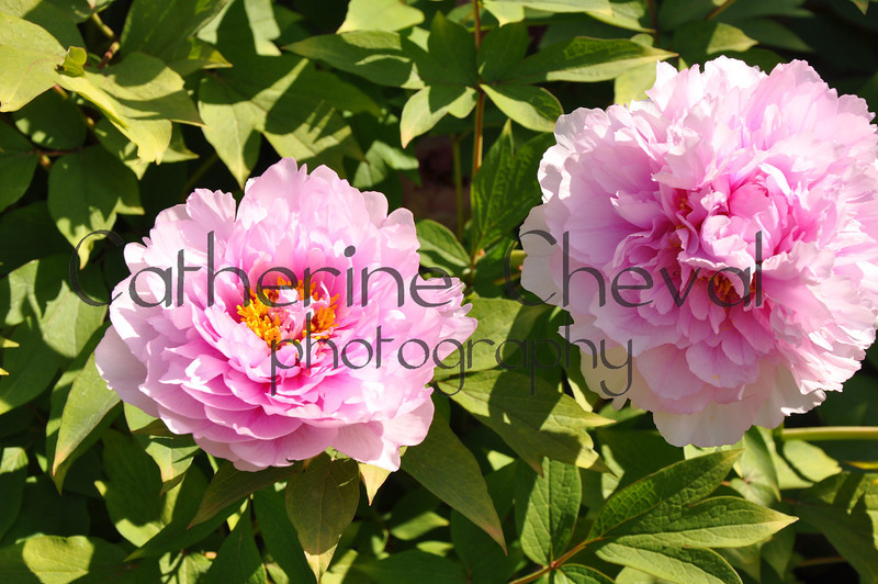 Peonies Two