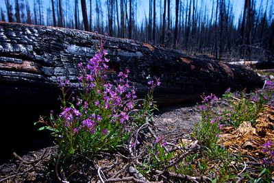 New growth in a burned-over area of Yellowstone National Park.