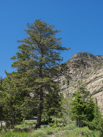 Tall Tree in Mountain Canyon