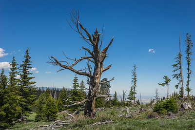 Stump of Dead Tree in Wyoming