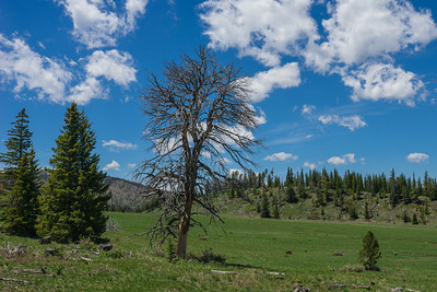 Dead Tree Above Mountain Meadow
