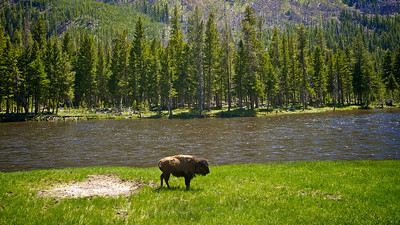 Buffalo calf grazes alongside the Yellowstone River in our nation's first national park.