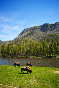 Three buffalo graze alongside the water in Yellowstone National Park.