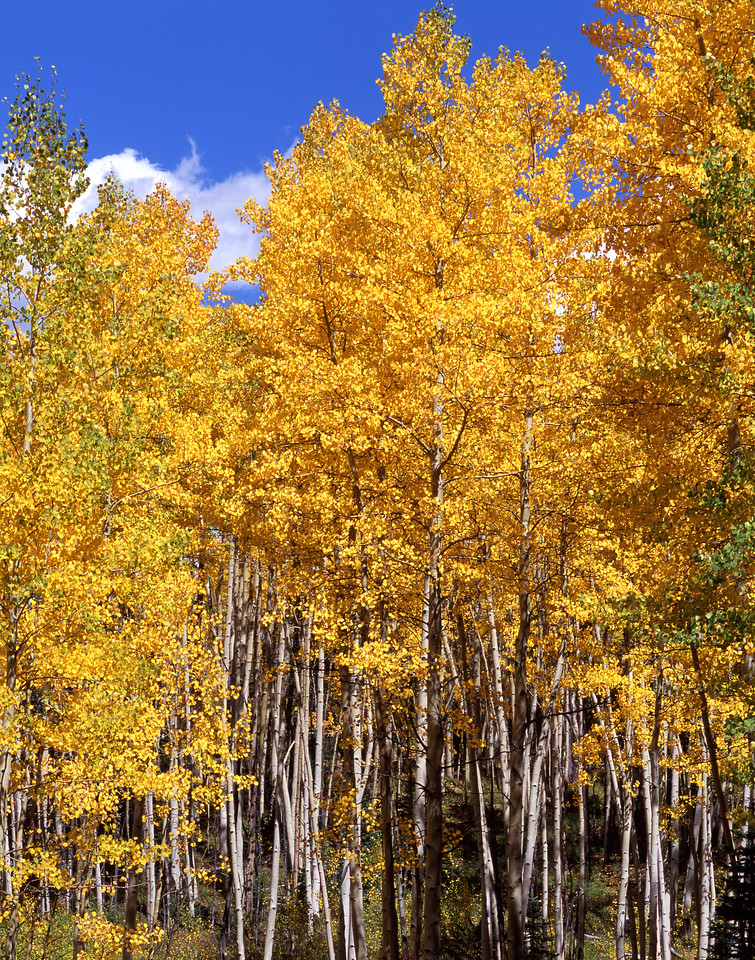 Birch near Silverton, CO