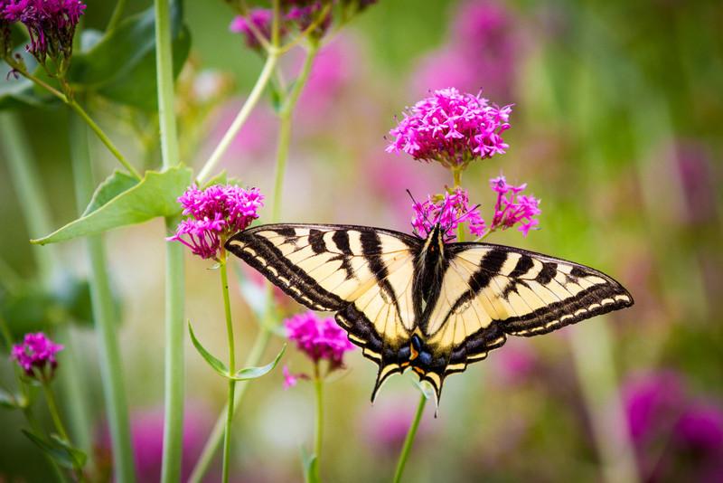 Bueller Butterfly