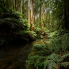 (Image#3268) Beech Forest, Victoria, Australia