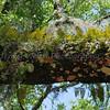Resurrection Fern<br /> <br /> Anastasia Island State Park<br /> <br /> Jacksonville, Florida