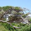 Windswept Tree<br /> <br /> Anastasia Island State Park<br /> <br /> Jacksonville, Florida