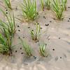 Snails in the surf<br /> <br /> Big Talbot Island State Park<br /> <br /> Jacksonville, Florida