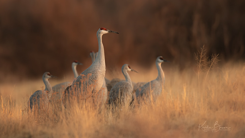 Sandhill Cranes at End of Day
