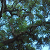 Beautiful old live oak trees<br /> <br /> Lake Runnymede Conservation Area<br /> <br /> St. Cloud, Florida