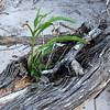 Life from death of tree<br /> <br /> Big Talbot Island State Park<br /> <br /> Jacksonville, Florida