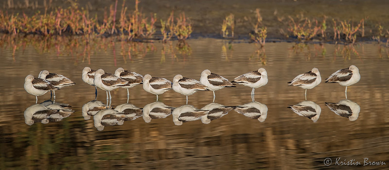 Line of Avocet