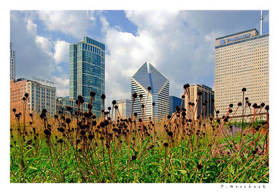 Black Eyed Susans and Chicago