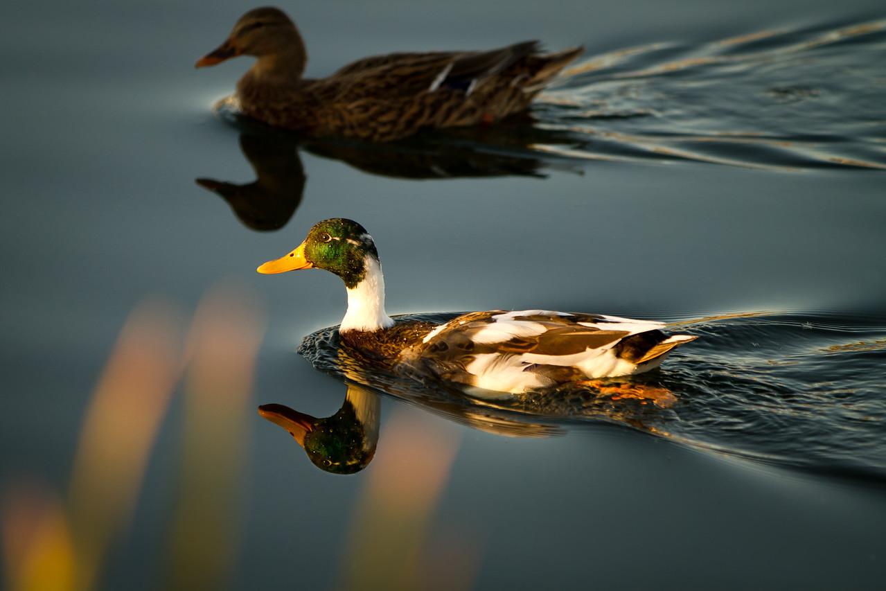 Glass Ducks