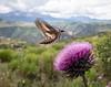 Humingbird Moth