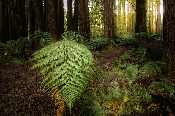 (Image#3320) Beech Forest, Victoria, Australia