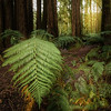 (Image#3320) Beech Forest, Victoria, Australia