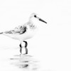 High Key Sanderling Wading