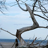 Whole trees as driftwood<br /> <br /> Big Talbot Island State Park<br /> <br /> Jacksonville, Florida