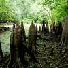 Bald Cypress Knees-5 Feet Tall<br /> <br /> Reedy Creek Environmental Center<br /> <br /> Kissimmee, Florida