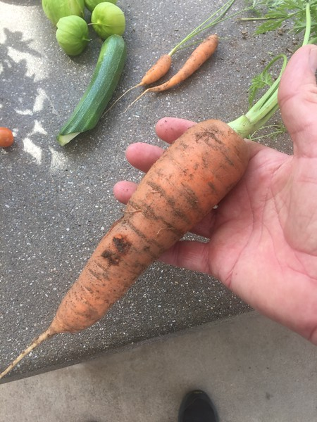 I'm amazed at how big our carrots grew.