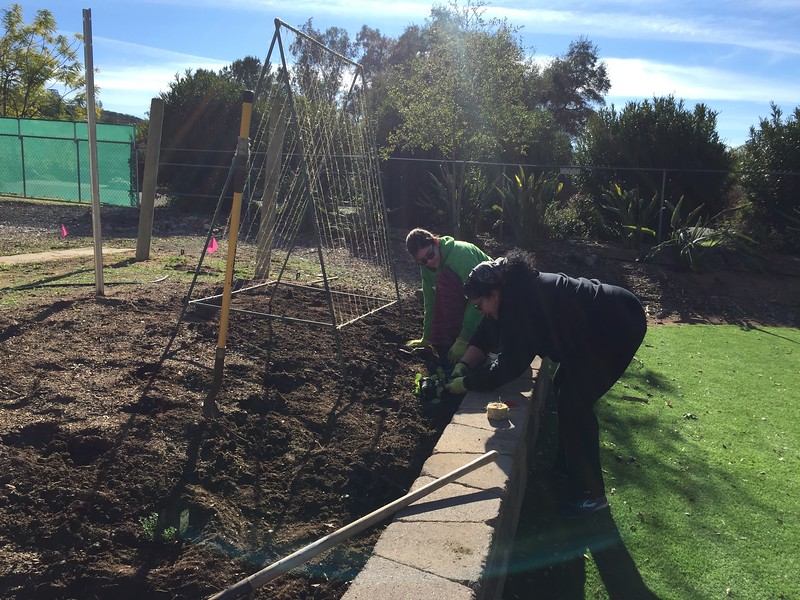 We strung the twine on the copper trellises and underneath them planted some peas. Also some thyme, chilis and basil.