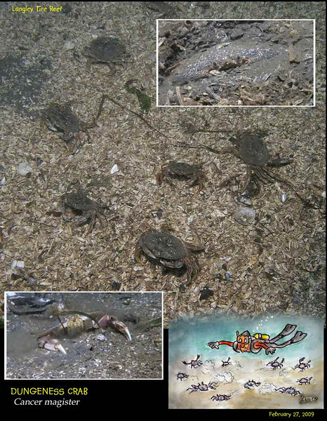 Hordes of young Dungeness crabs all over the sandy bottom around the Langley Tire Reef.<br /> February 27, 2009
