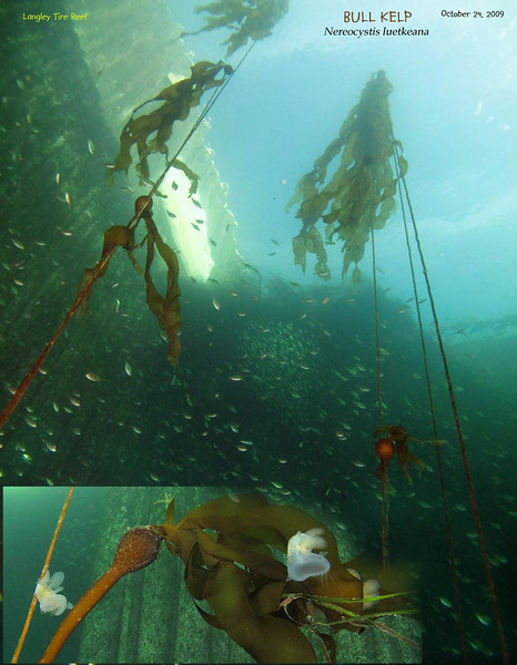 Schools of Sniner and Pile surperch, as Tubesnouts gather neat the Bull Kelp which tries to establish at Langley Tire Reef area. <br /> October 24, 2009
