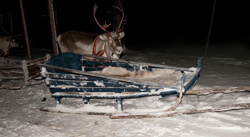 """Dodger"" on a reindeer trek, Finnish Lapland."