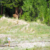 The elk—a great distance away.  This is one extreme telephoto.