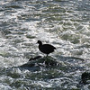 A coot standing on a rock.