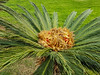 Flowers of palm tree
