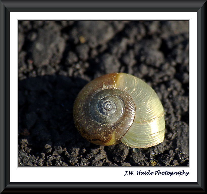 Tiny snail shell on walkway in Cook Park in Tigard, Oregon