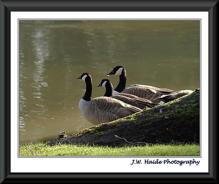 Canada Geese along Tualatin River in Cook Park, Tigard, Oregon