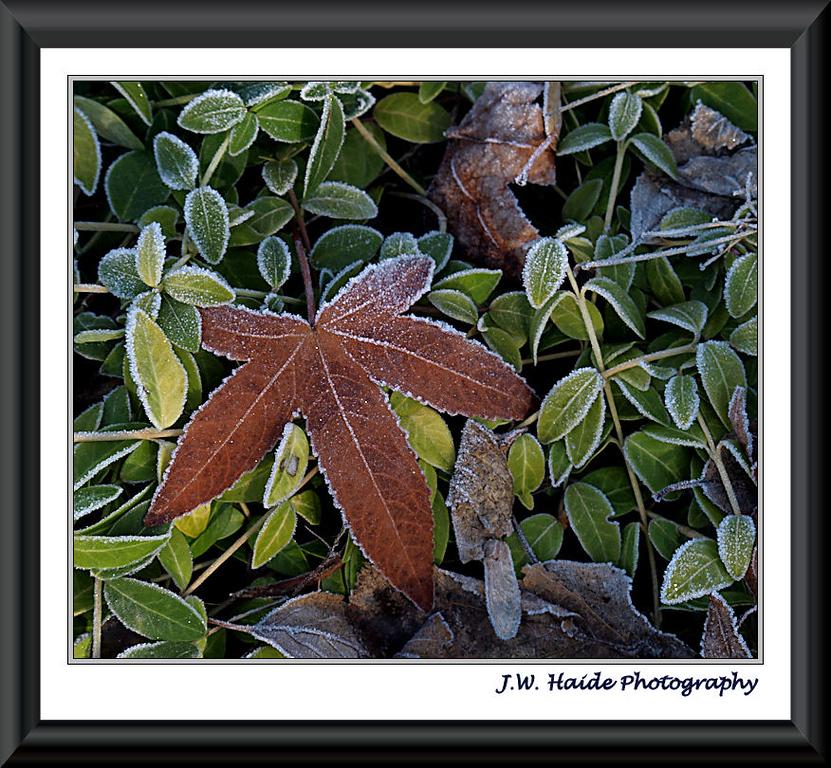 Frosty leaves along NE Lincoln in Hillsboro, Oregon