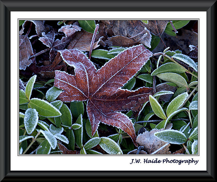 Frosty leaves along NE Lincoln in Hillsboro, Oregon