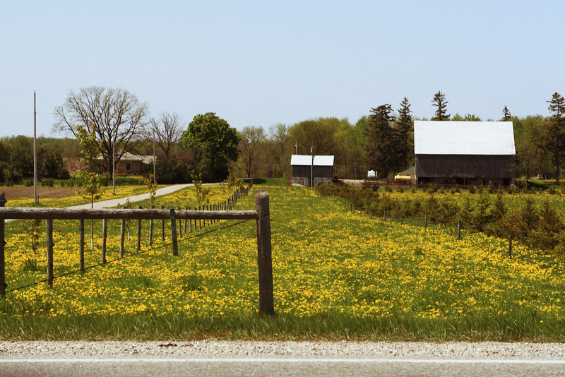 Farm along countryside accented with plenty of dandelions