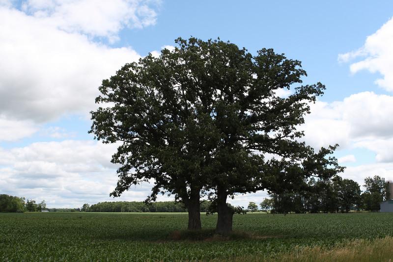 Split Tree in Ontario