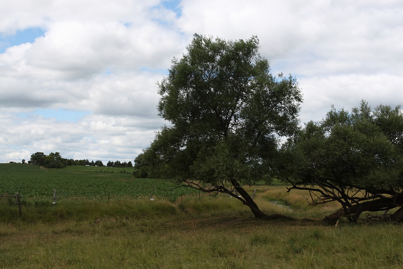 Spectacular Tree in Ontario Countryside