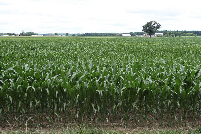 Corn in Ontario
