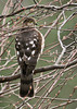 """<div class=""""jaDesc""""> <h4> Juvenile Sharp-shinned Hawk Back View - October 26, 2012</h4> <p>She thinks she is hiding, but all the other birds know exactly where she is.  Song birds are tucked into the dense holly bushes along the house. </p> </div>"""