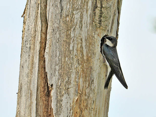 """<div class=""""jaDesc""""> <h4>Tree Swallow at Nest Hole - May 1, 2010 </h4> <p> This is why they are called Tree Swallows.  This female is at the entrance to the nest hole in a big dead tree standing in the middle of a farm field.</p> </div>"""